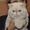 Продам котят экзотической породы #1439658