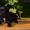 Щеночки Кане Корсо #1455467