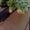 Продажа саженцев Ели голубой (Glauca Misty Blue) #1613013