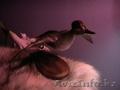 Чучело утки чирок-свистунок (селезень)