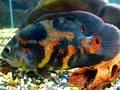 аквариумные рыбки, Объявление #91041
