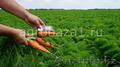 Морковь оптом с фермерского хозяйства