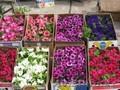 Рассада цветов петунии и многое другое