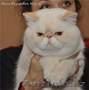Продам котят экзотической породы