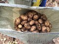 Продам оптом картофель сорта Невский